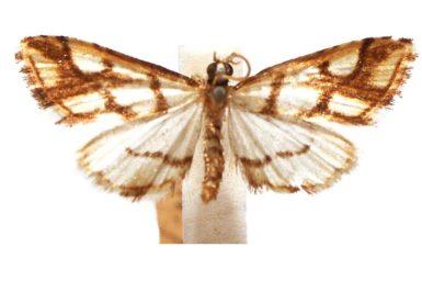 Aboetheta pteridonoma