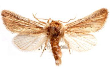 Acrapex albicostata