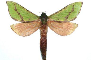 Aenetus blackburnii