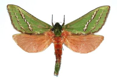 Aenetus dulcis