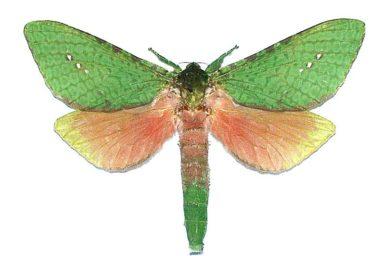 Aenetus eximia