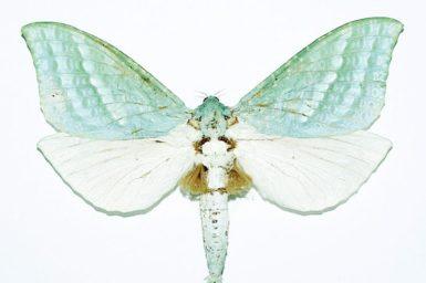 Aenetus mirabilis
