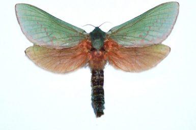 Aenetus montanus