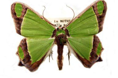 Agathia prasinaspis