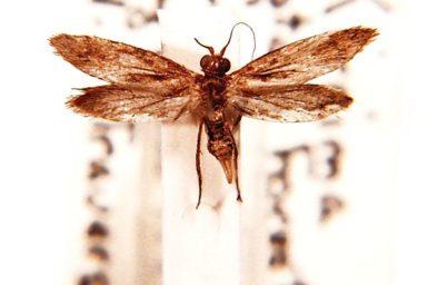 Agathiphaga queenslandensis