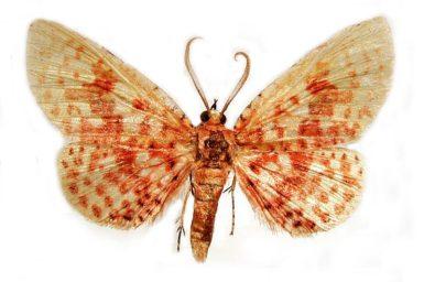Aglaopus gemmulosa