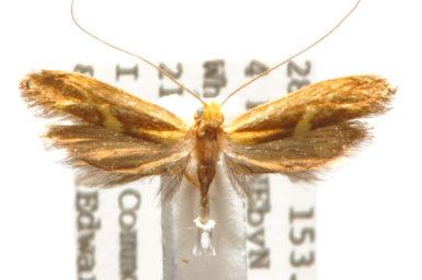 Amphithera hemerina