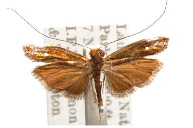 Amphithera heteroleuca