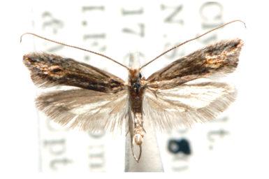 Amphithera heteromorpha