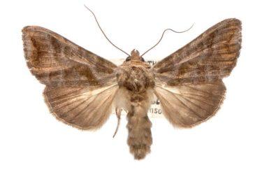 Anadevidia peponis