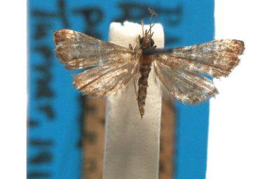 Analcina penthica