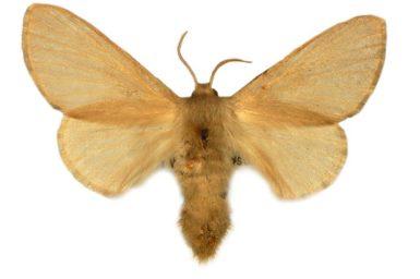 Anastrolos holopolia