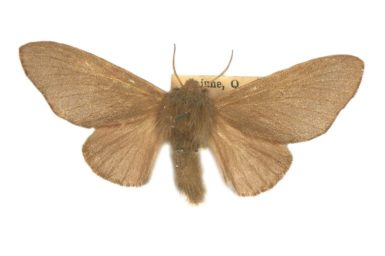 Anastrolos porphyrica