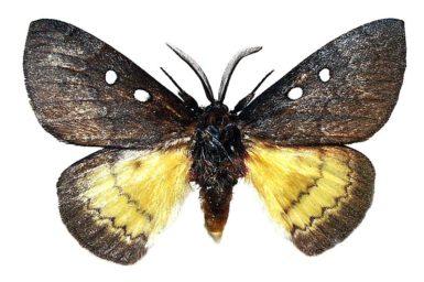 Anthela ariprepes