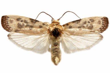 Arignota stercorata