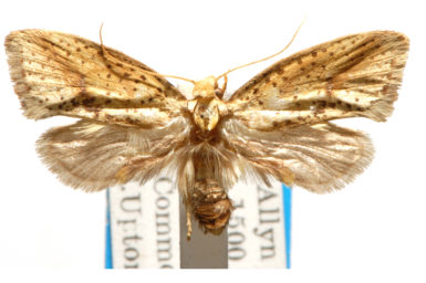 Azaleodes brachyceros