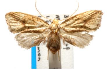 Azaleodes fuscipes