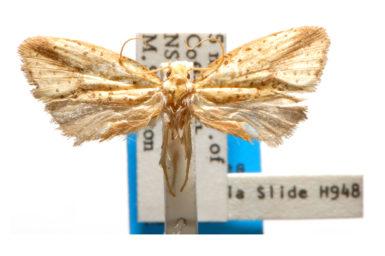 Azaleodes megaceros