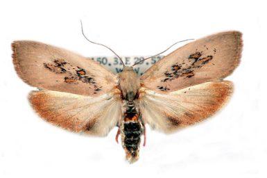 Brachybelistis blackburnii