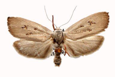 Brachybelistis neomorpha