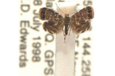 Brenthia quadriforella