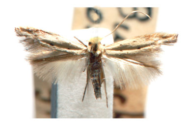 Bucculatrix gossypii