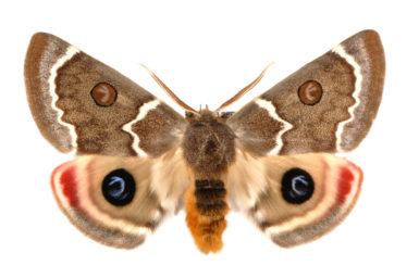 Carthaea saturnioides