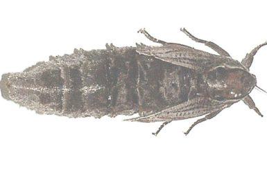 Catoxophylla cyanauges