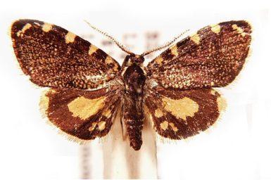 Cebysa leucotelus