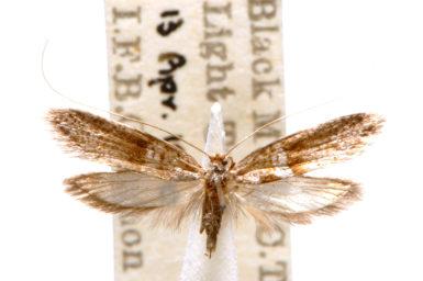 Ceromitia iolampra