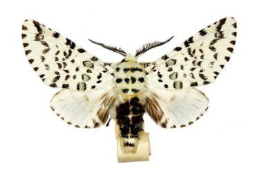 Cerura australis