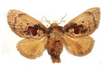 Chalcocelis albiguttatus