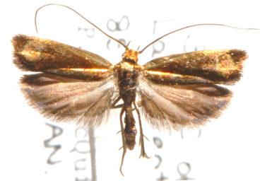 Chalcoteuches phlogera