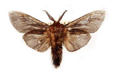 Clania ignobilis