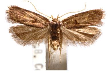 Cophomantella lychnocentra