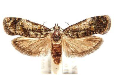 Copromorpha lichenitis
