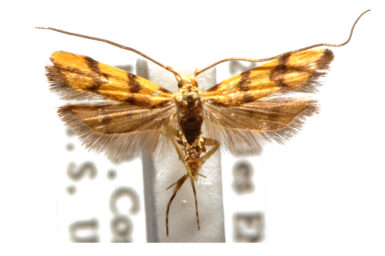 Crocanthes characotis