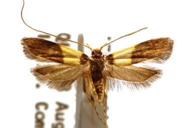 Crocanthes doliopa