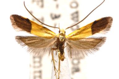 Crocanthes micradelpha