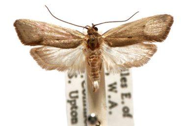 Crypsicharis neocosma