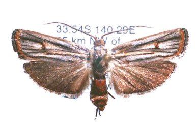 Cryptophasa isoneura
