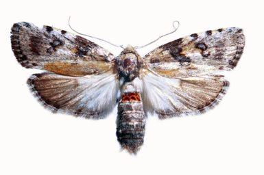 Cryptophasa nephrosema