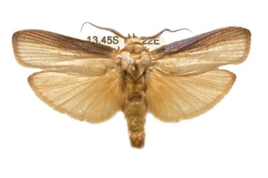 Cryptophasa phaeochtha