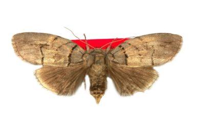 Discophlebia blosyrodes