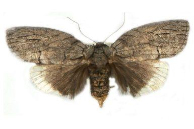 Discophlebia catocalina