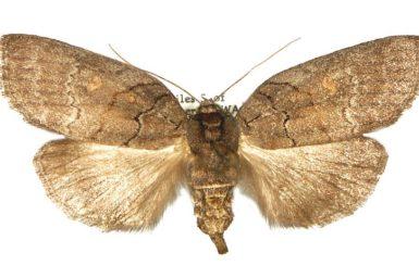 Discophlebia lipauges