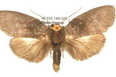 Discophlebia lucasii