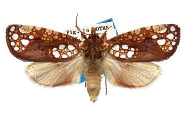 Dudgeonea actinias