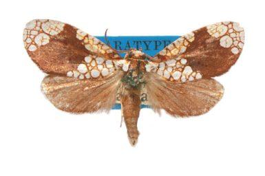 Dudgeonea lychnocycla