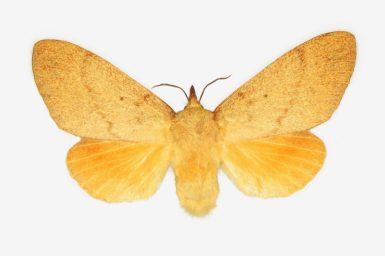 Entometa apicalis